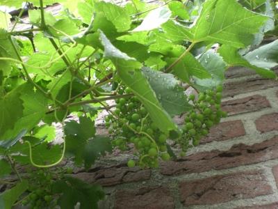 druiven 1 juli