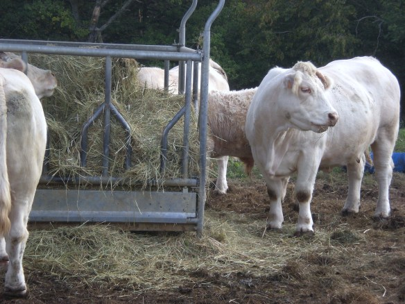 koeien-bourgondie